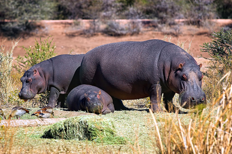 images - Hippo
