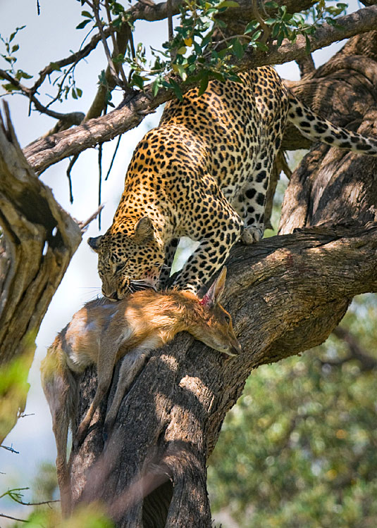 Leopard - photo gallery