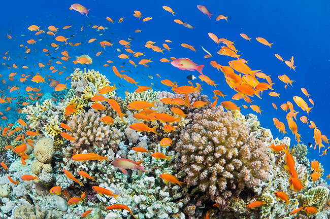 Coral reef - Red Sea - photo stock