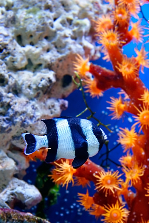 pictures - Coral reef - Red Sea