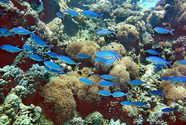 Coral reef - Red Sea - picture