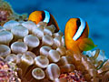 Coral reef - Fish  - pictures, Clownfish ( Amphiprion ocellaris )