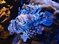 Lionfish - photo gallery