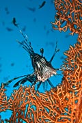 nature pictures - Lionfish