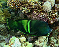 Coral reef - Fish - photography, Sand wrasse ( Coris Aygula )