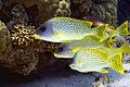 images - Coral reef - Fish, sweetlips ( Plectorhinchus )