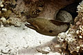 Moray - Giant Moray Eel photos ( Gymnothorax javanicus )