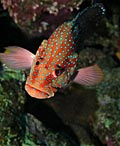 Groupers  - pictures, Red Grouper (Cephalopholis miniata)