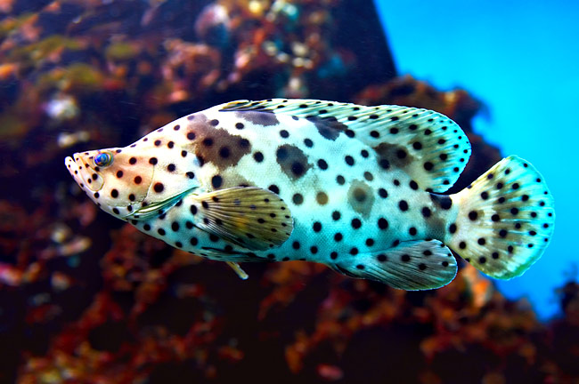 Groupers - photography, Panther Grouper (Cromileptes Altivelis)