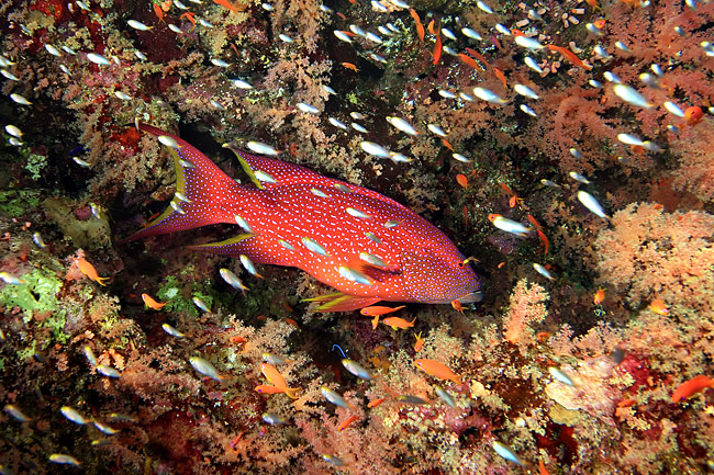 nature pictures - Groupers, Coral Grouper (Plectropomus pessuliferus)