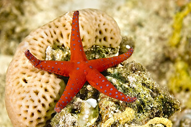 nature pictures - Coral reef - animals, ghardaqa sea star (fromia ghardaqana)