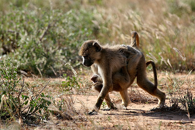 Baboons  - pictures