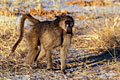 Savanna Baboon (Papio cynocephalus ursinus) Photos