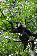 Photos - Northern White-cheeked Gibbon, (Nomascus leucogenys)