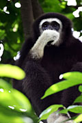 White-handed Gibbon  - nature photography, (Hylobates lar)