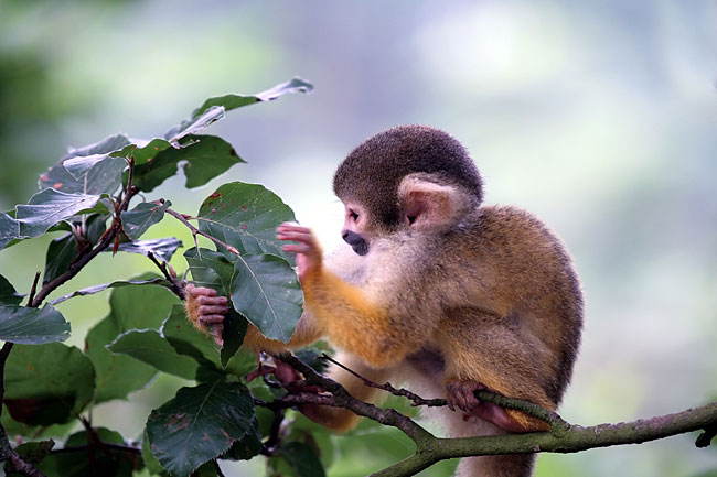 Squirrel monkeys - photos, (Saimiri)