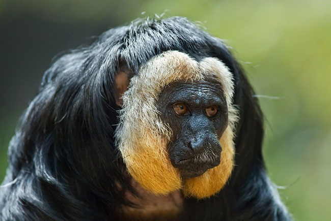 Saki monkeys - photos, White-faced Saki (Pithecia pithecia)