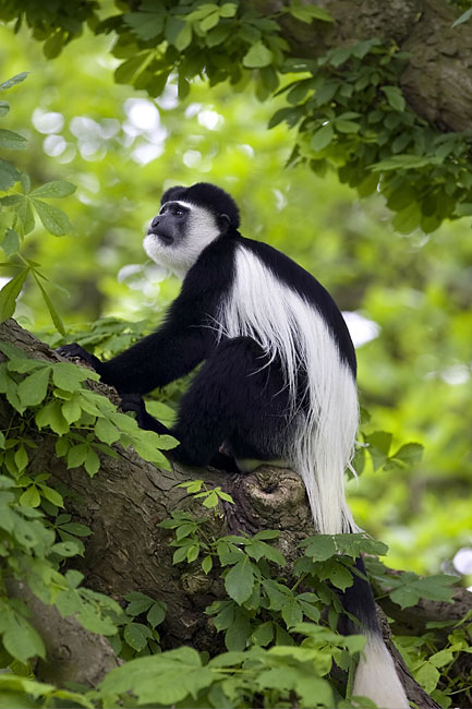 Mantled Guereza - photos, (Colobus guereza)