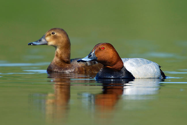 Common Pochard - photos