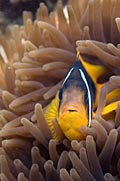 Clownfish - Coral reef - Fish,  (Amphiprion percula)