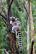 Ring-tailed Lemur pictures, (Lemur catta)