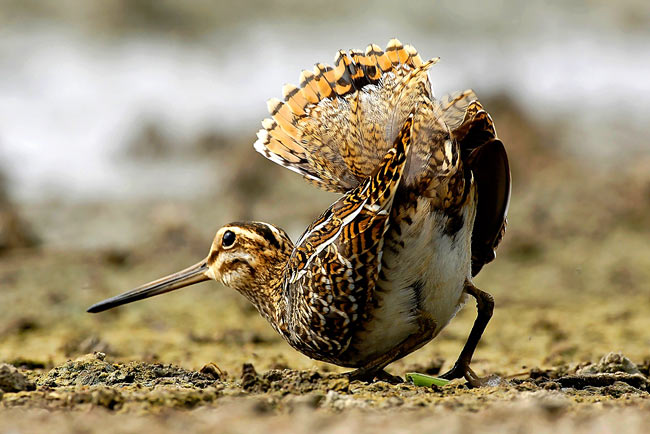 Common Snipe - photos, Gallinago gallinago