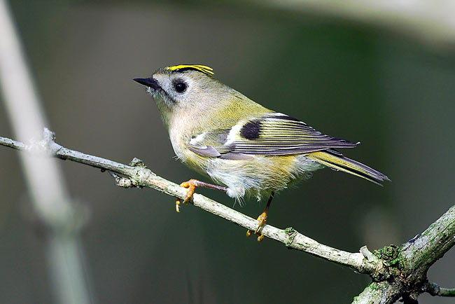 Goldcrest - photos, Regulus regulus