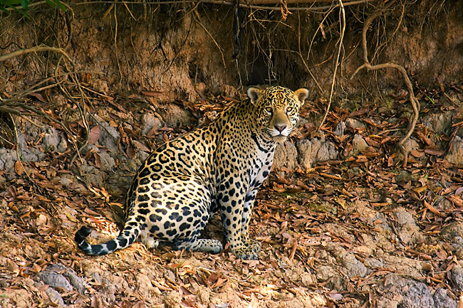 Jaguar - photos, (Panthera onca)