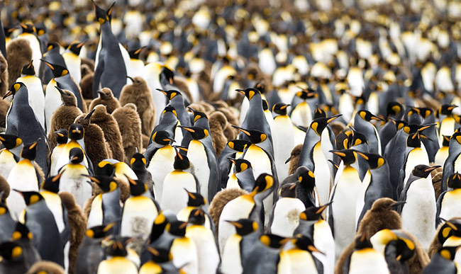 King Penguin - photos, (Aptenodytes patagonicus)