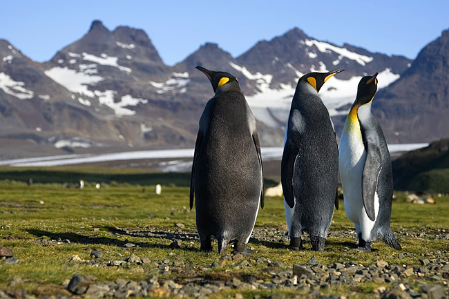 Photos - King Penguin