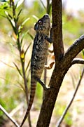 Chameleon - photo stock