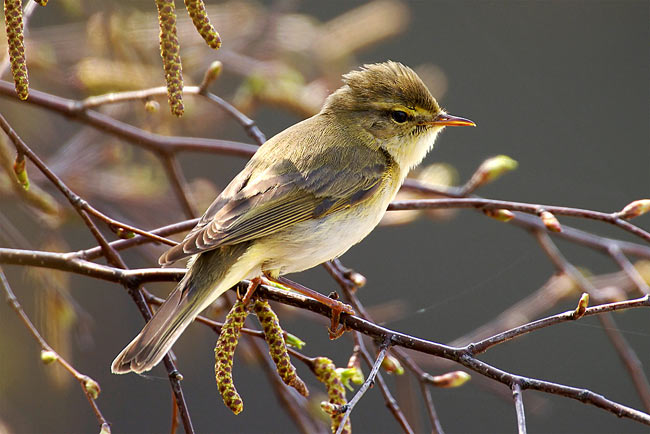 Willow Warbler - photos, Phylloscopus trochilus