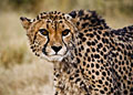 Cheetah - nature photography