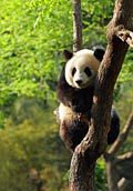 Giant Panda  - pictures
