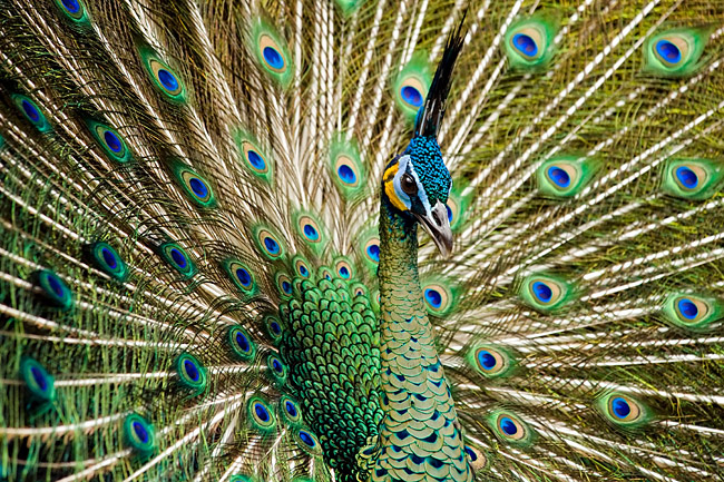 Peacock - photos, (Pavo cristatus)