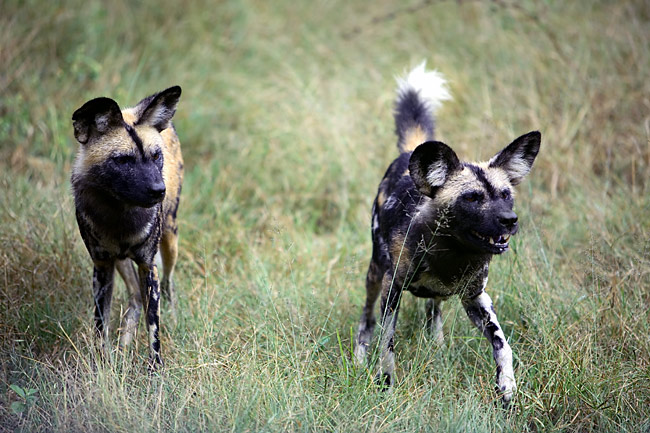 African Wild Dog  - pictures