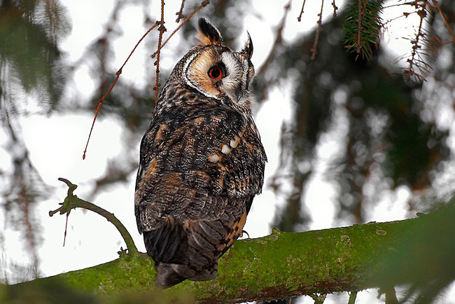 Long-eared Owl - photos, Asio otus