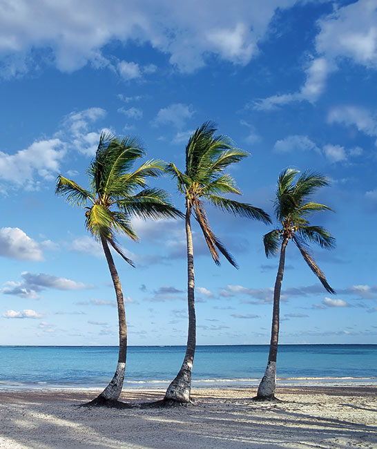 pictures - Palm tree
