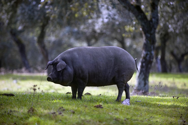 Pig - photography