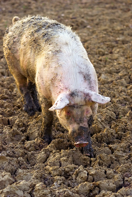 nature pictures - Pig