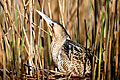 Great Bittern - images