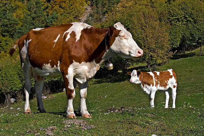 Cow  - pictures