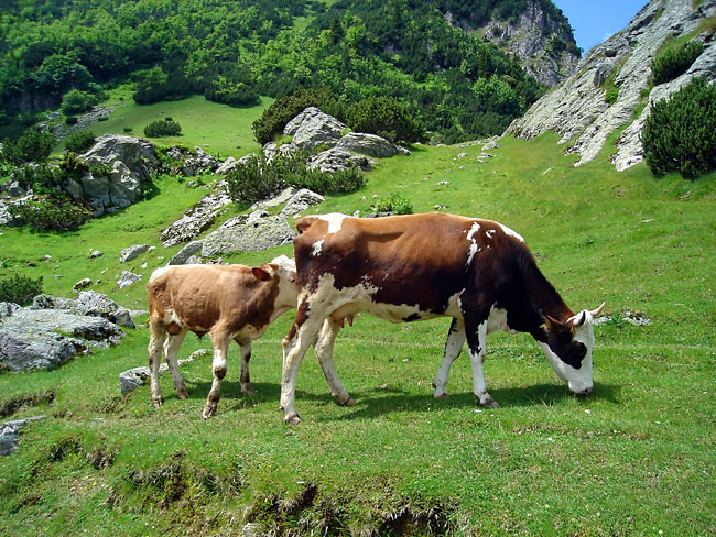 Cow - image gallery