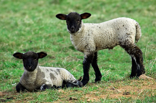 Sheep - picture