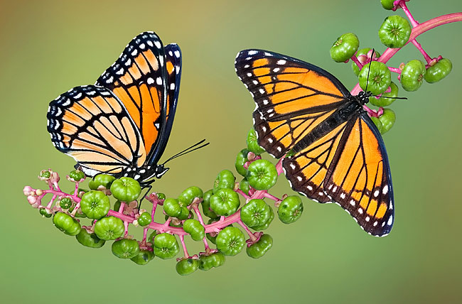 Monarch butterfly  - pictures