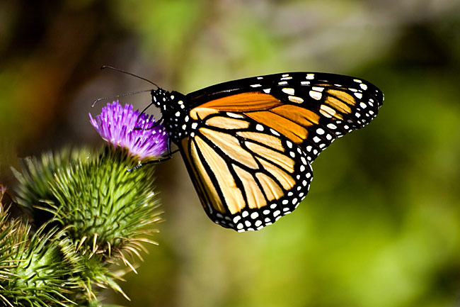 Monarch butterfly - photography
