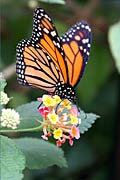 Monarch butterfly - photo stock