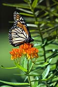 pictures - Monarch butterfly