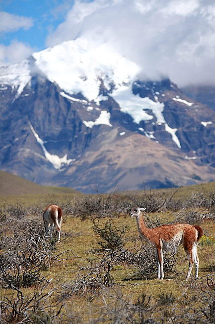 Guanaco - nature photography