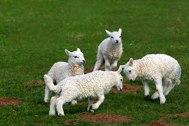Sheep nature pictures